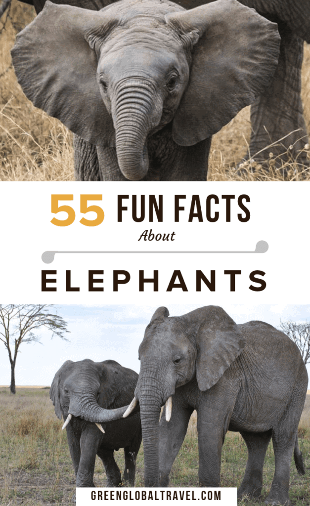 55 Interesting Facts About Elephants for World Elephant Day w/ fun facts about types of elephants, elephant habitat, elephant behavior, conservation & more! via @greenglobaltrvl