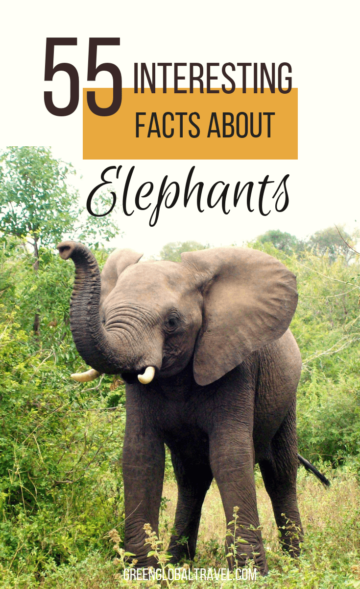 55 Interesting Facts About Elephants (for World Elephant Day)