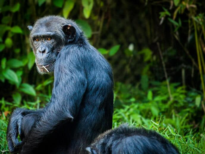 Gombe National Park, Chimpanzee