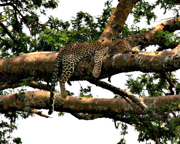 Serengeti National Park Tanzania -Sleeping Leopard in Tree