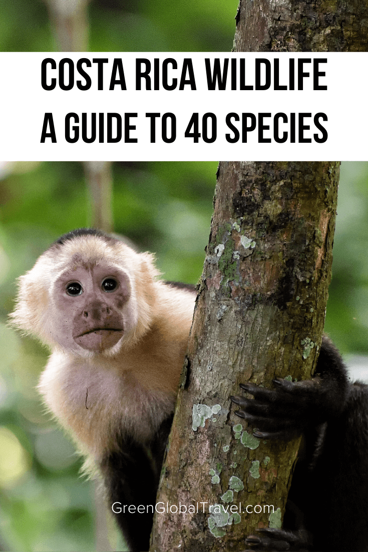 A Guide to 40 Amazing Costa Rica Animals including birds, frogs, monkeys, sloths, tapirs, reptiles & more! | costa rica travel | things to do in costa rica | visit costa rica | costa rica holidays | costa rica travel guide | costa rica wildlife | costa rica rainforest animals | costa rica wildlife guide | animals native to costa rica | costa rica jungle animals |endangered animals in costa rica | common animals in costa rica | animals that live in costa rica | best wildlife costa rica