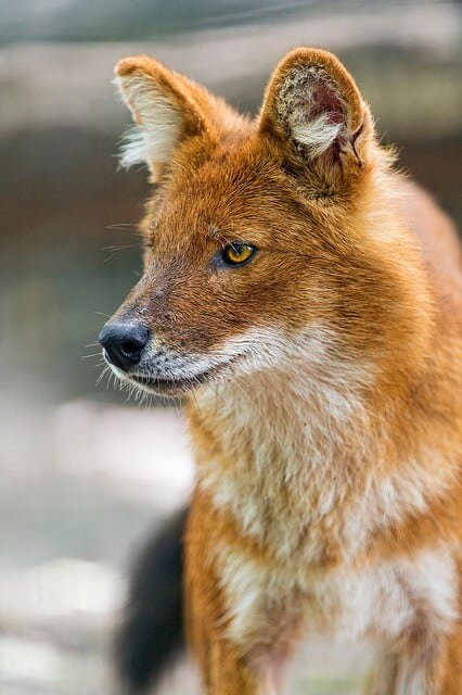Cute asian animals -Dhole or Indian Wild Dog
