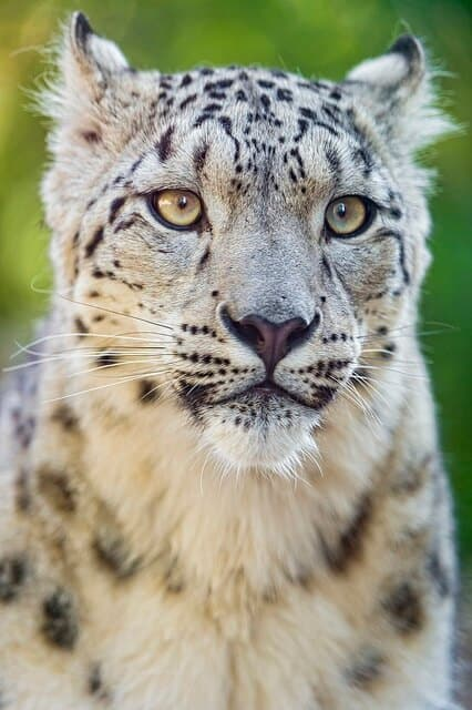 Endangered Asian Animals - Snow Leopard