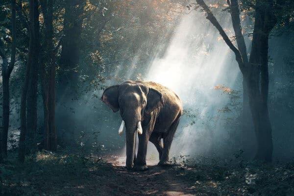 Endangered Asian Elephants