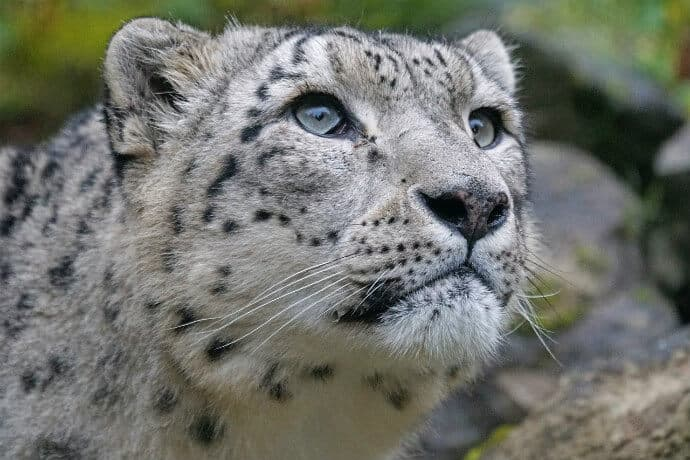 Animal Predators in India -Snow Leopard
