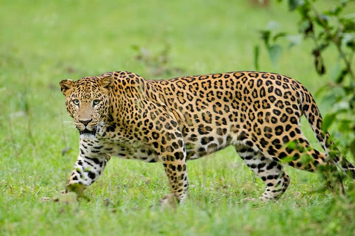 Apex Predators in India -Leopard