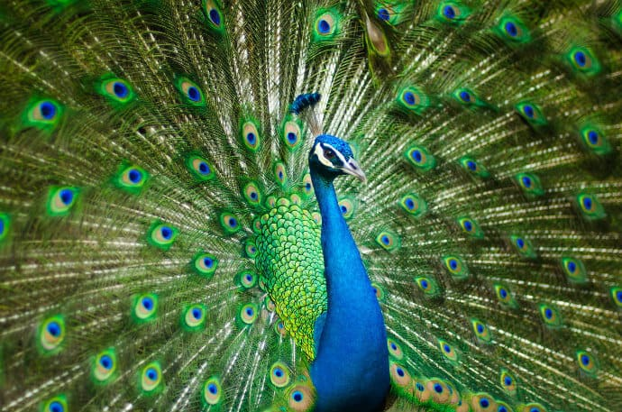 Indian National Bird -Peacock