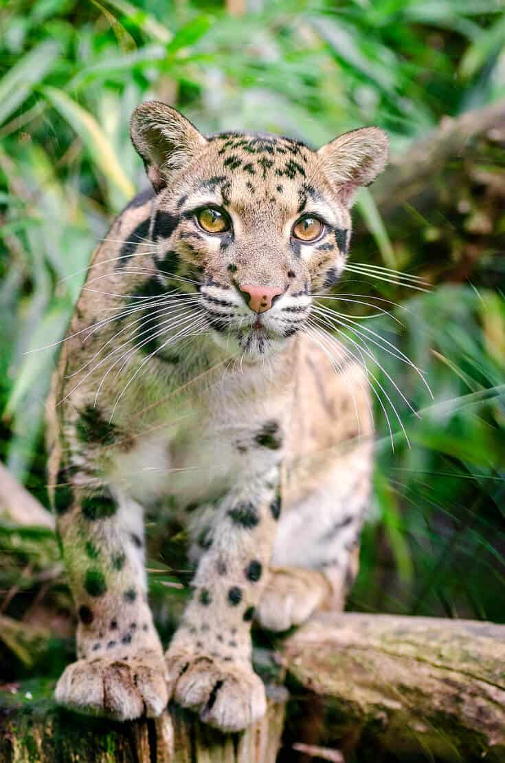 Big Cats in India -Clouded Leopard