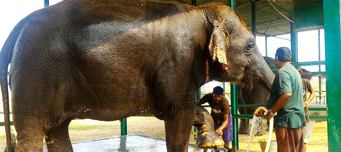 Chanchal Elephant getting a bath