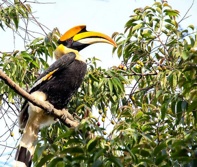 Birds in Indian -Great Indian Hornbill