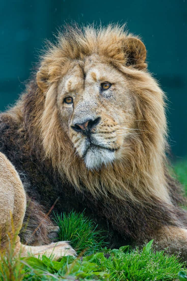 Indian Big Cats -Asiatic Lion