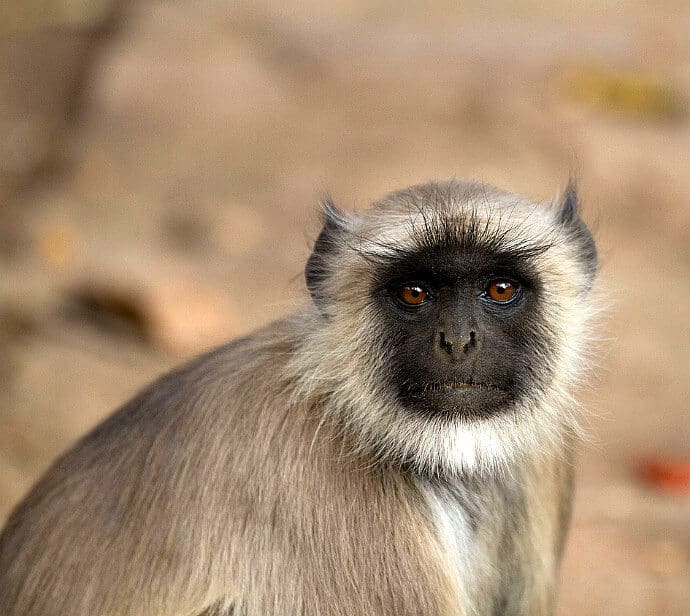 Indian Monkeys -Langur Monkey