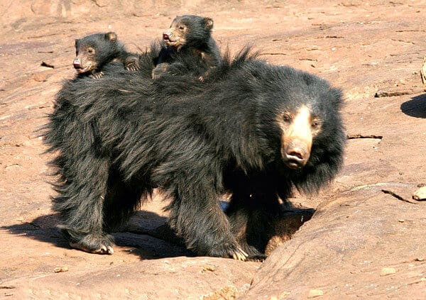 Indian Sloth Bear with Cubs