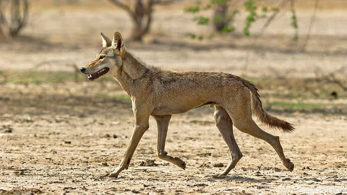 Indian Wolf Photo by Dhaval Vargiya