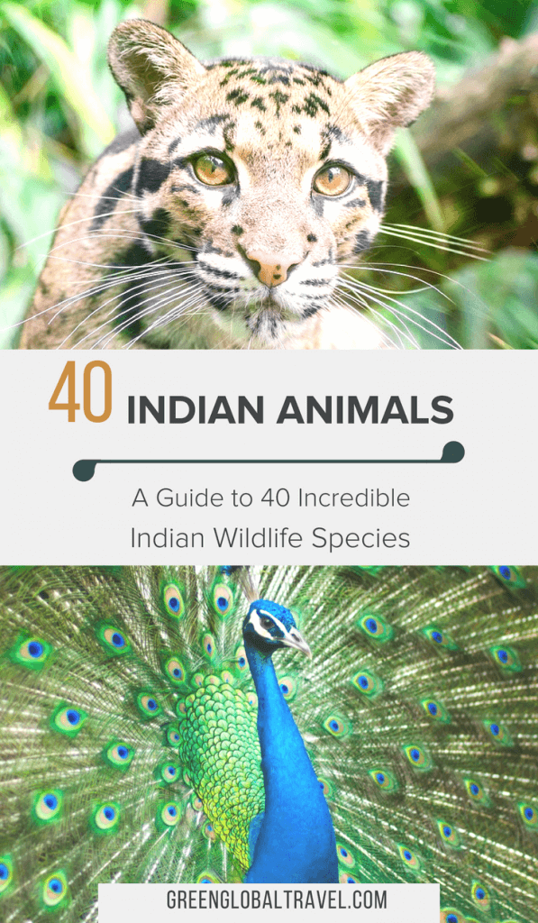 Indian Animals: A Guide to 40 Incredible Indian Wildlife Species including Elephants, Leopards, Lions, Tigers, Birds, Snakes & more! via @greenglobaltrvl