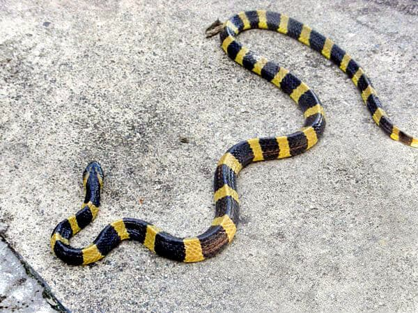 Deadly Snakes in India -Banded Krait