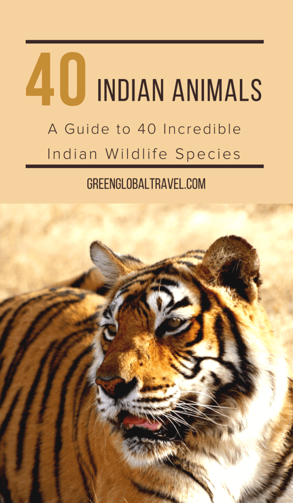 Indian Animals: A Guide to 40 Incredible Indian Wildlife Species, including Big Cats in India, Birds In India, Mammals in India, Indian Snakes, Indian Lizards, Indian Reptiles & more! via @GreenGlobalTrvl #IndianAnimals #IndianWildlife #IndianAnimalsPhotography #WildlifeofIndia #Tiger #AsianElephant #IndianNaturePhotography