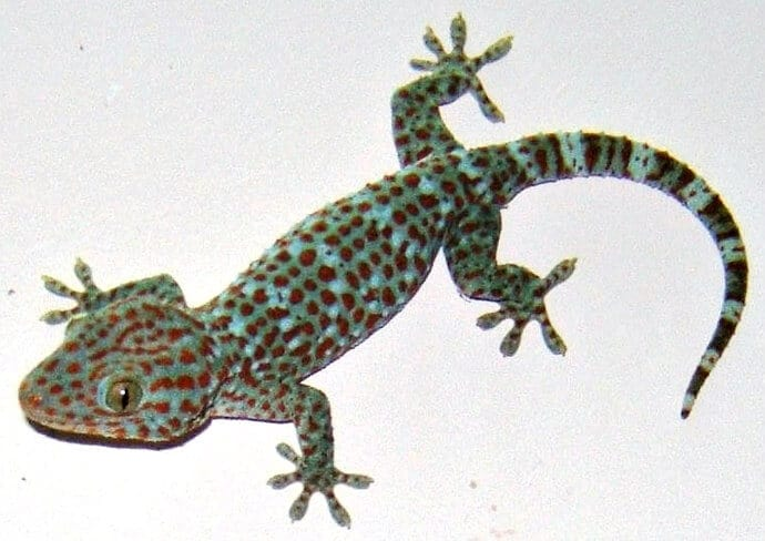 Indian Lizards -Tokay Gecko