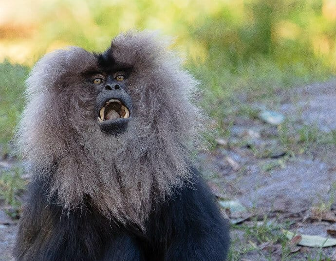 Indian Primates -Lion Tailed Macaque