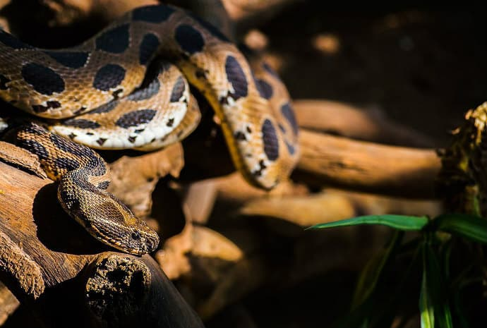 Indian poisonous snakes -Russell's Viper