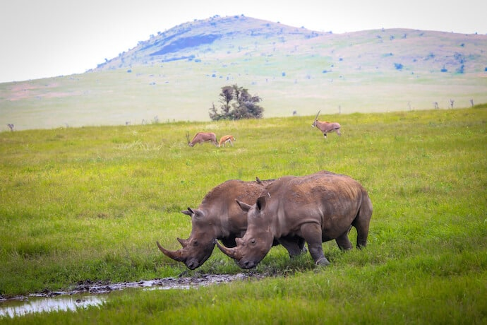 Two Rhinos in Lewa Conservancy, Kenya