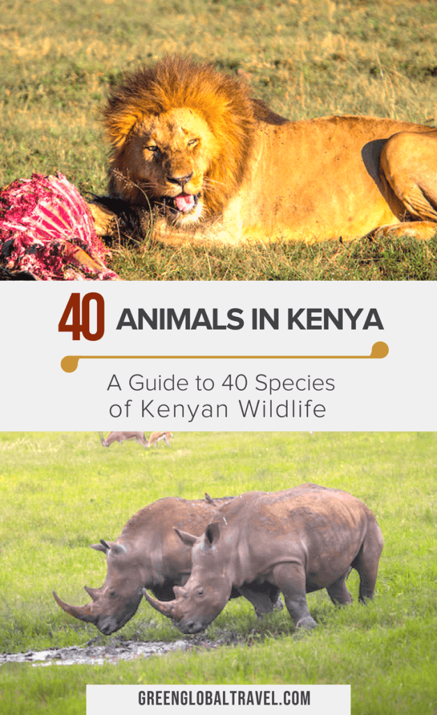 Animals in Kenya: A Guide to 40 Species of Kenyan Wildlife via @greenglobaltrvl