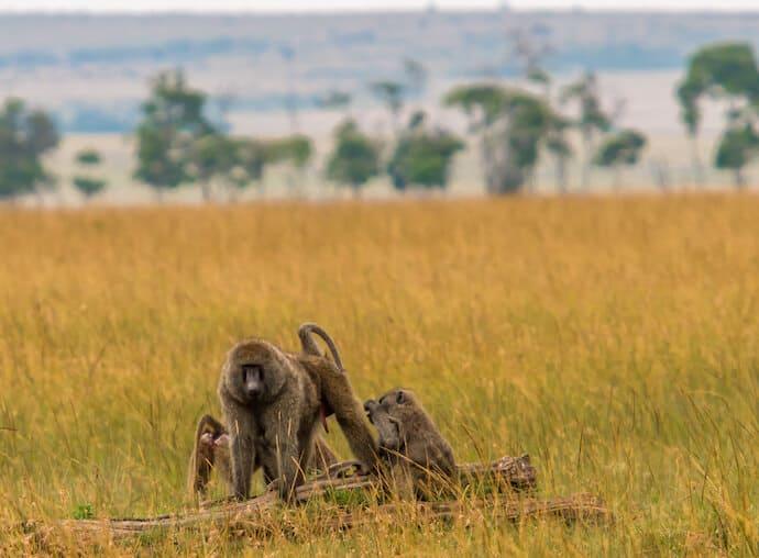 Baboons in Kenya's Maasai Mara National Reserve