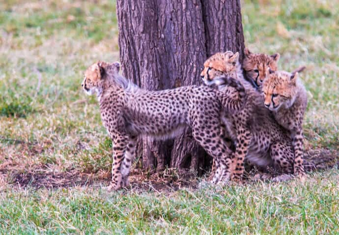 Cheetah Cubs in the Olare-Motorogi Conservancy, Kenya