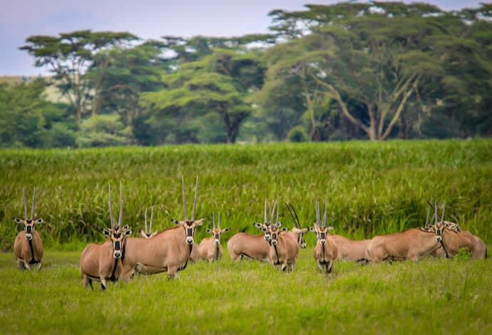 Kenyan Animals: East African Oryx in Lewa Conservancy