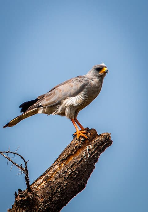 Eastern Chanting Goshawk in Meru National Park, Kenya