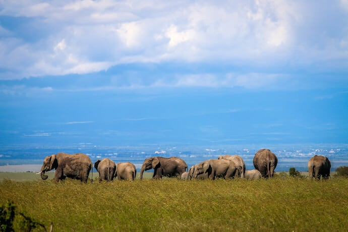 African Elephants in Ol Pejeta Conservancy - One of the Big Five Animals in Kenya