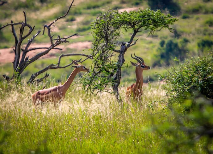 Kenyan Animals: Gerenuk in Lewa Conservancy