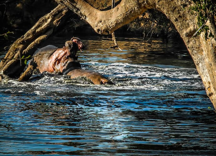 Hippos Fighting in Ol Kinyei Conservancy, Kenya