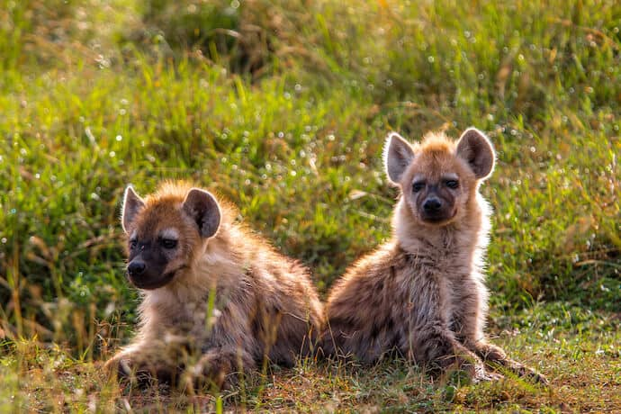 Spotted Hyena Pups in the Maasai Mara National Reserve