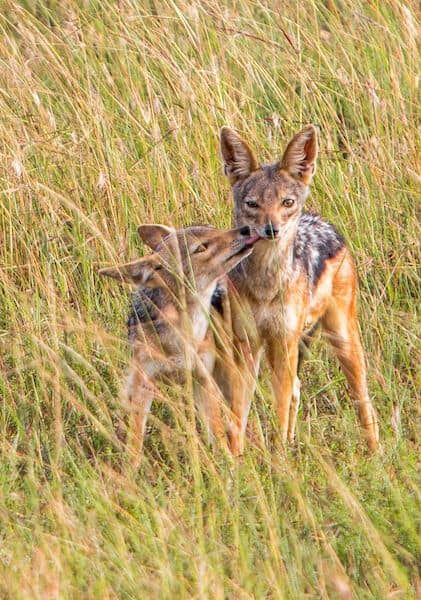 Black Backed Jackal Mama & Pup in the Maasai Mara National Reserve, Kenya