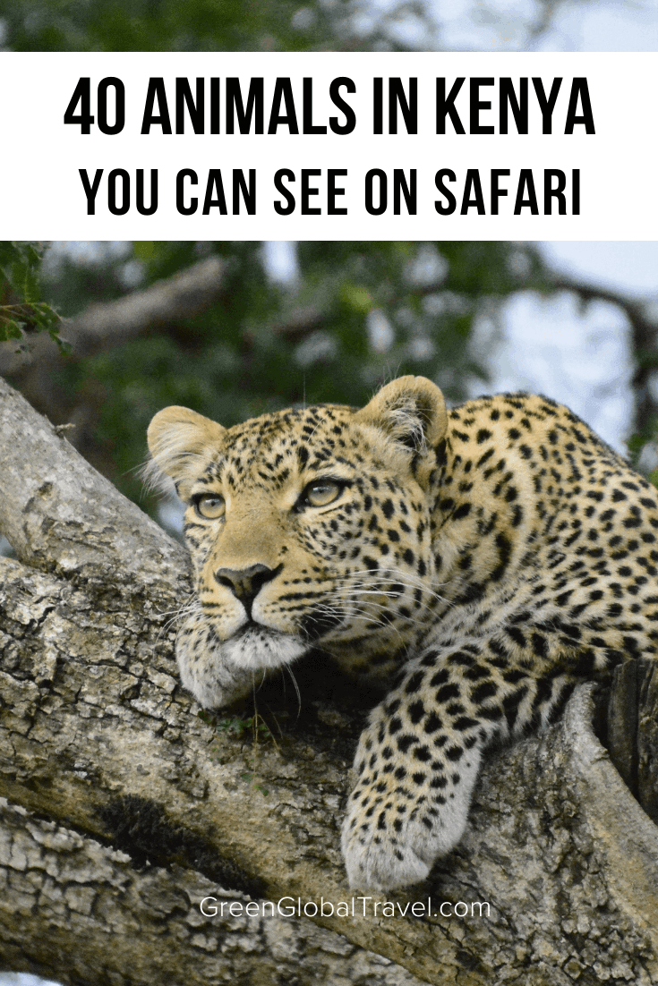 Animals in Kenya: A Guide to 40 Species of Kenyan Wildlife