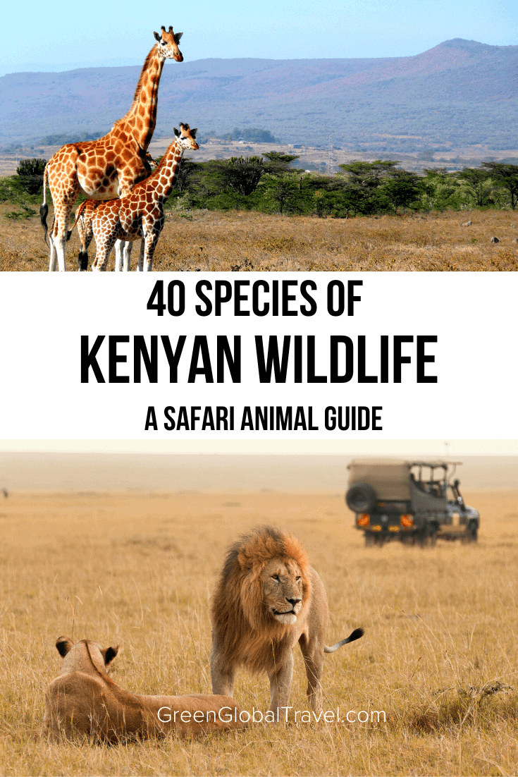 Animals in Kenya: A guide to 40 species of Kenyan wildlife, including the Big 5 animals, Northern 5, the Ugly 5, birds of Kenya, & more. | kenya wildlife | lions in kenya | elephant kenya | big five kenya | wild animals in kenya | big five animals in kenya | antelopes in kenya | rhinos in kenya | kenya safari animals | white rhino in kenya | endangered species in kenya | animals native to kenya | facts about kenya animals | monkeys in kenya | leopard kenya | zebra kenya | cheetah kenya