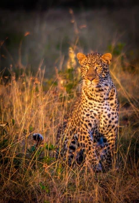 Leopard in Olare-Motorogi Conservancy, Kenya