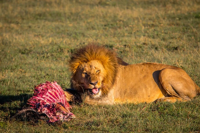 Lion with Wildebeest Kill in Ol Kinyei Conservancy. Kenya