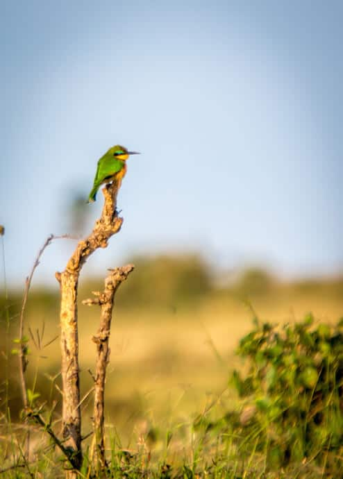 Little Bee Eater in Meru National Park, Kenya