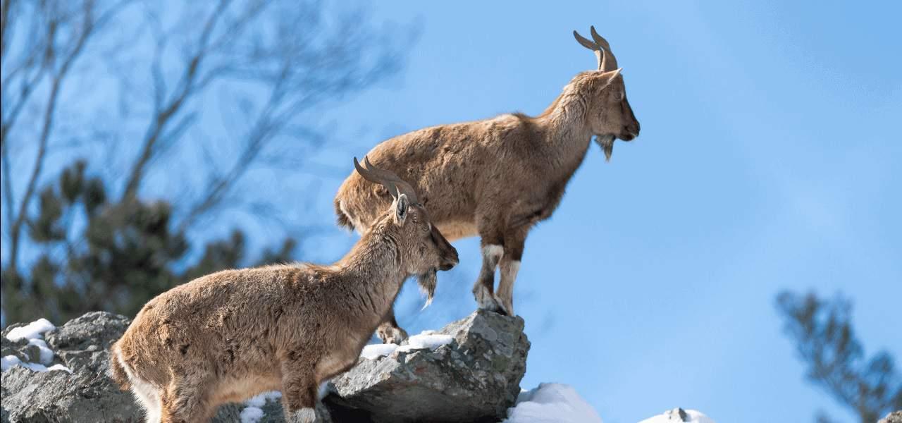 Markhor Markhor goats
