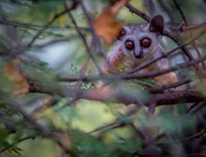 Bushbaby in Meru National Park, Kenya