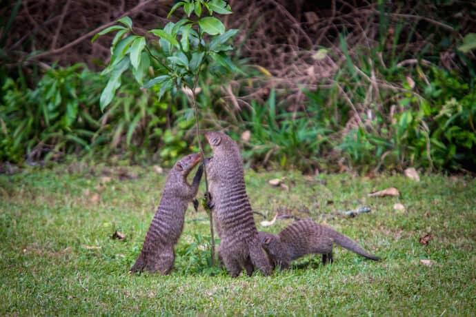 Banded Mongoose in Maasai Mara National Reserve, Kenya