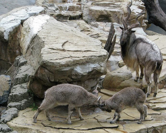 40 Fascinating Facts about the Markhor (National Animal of