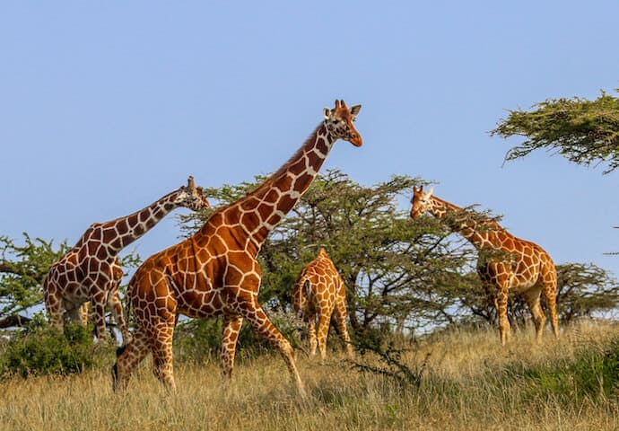 Kenyan Animals: Reticulated Giraffes in Lewa Conservancy