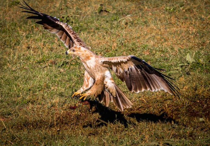 Tawny Eagle in Naboisho Conservancy, Kenya