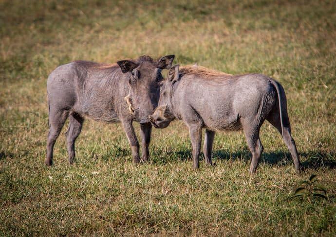 Warthogs in Ol Kinyei Conservancy. Kenya