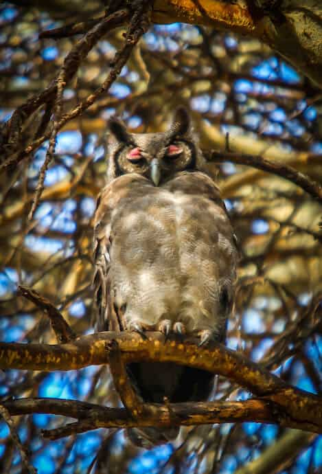 Verreaux's Eagle Owl in Lewa Conservancy, Kenya