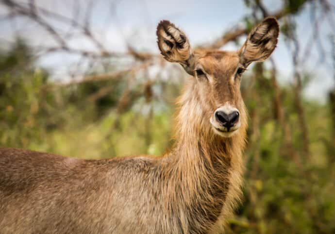 Waterbuck in Meru National Park, Kenya