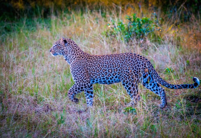 Leopard in the Olare Motorogi Conservancy